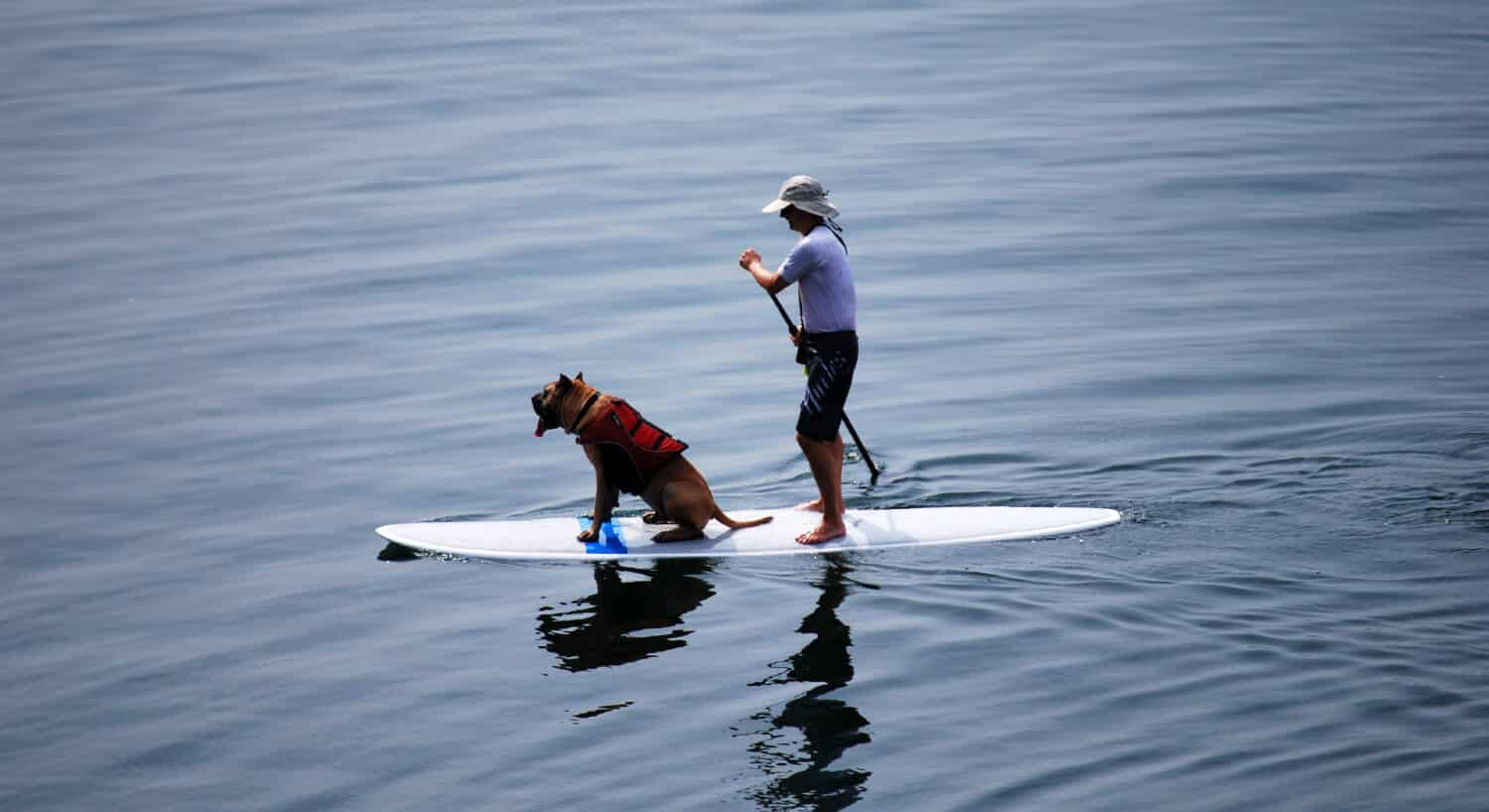 A dog rides on the front of a paddleboard, wearing a life jacket.